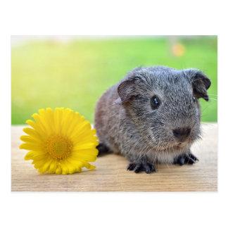 Flor amarilla del conejillo de Indias Postales