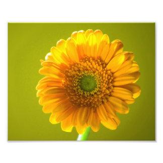 Flor amarilla del Gerbera de la margarita Cojinete