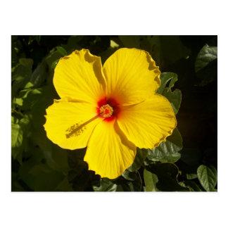 Flor amarilla del hibisco postales