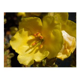 Flor amarilla macra del sabio de Clary Postal