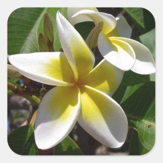 Flor amarillo-blanca hermosa del Plumeria Calcomanías Cuadradases