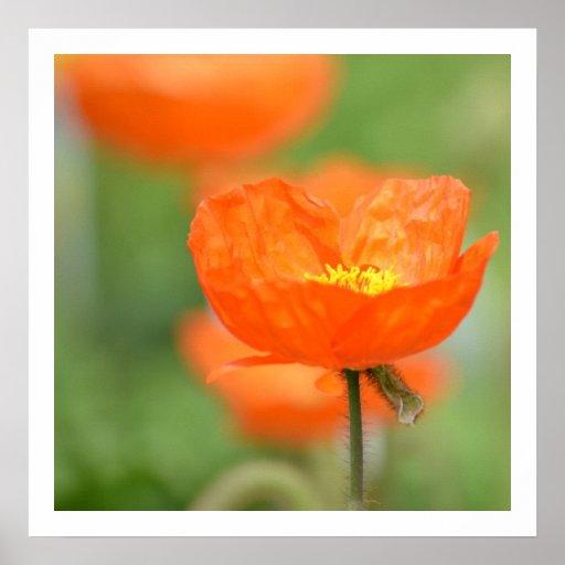 Flor anaranjada de la amapola de Islandia Póster