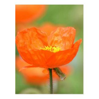 Flor anaranjada de la amapola de Islandia Tarjeta Postal
