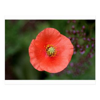 Flor anaranjada de la amapola en la floración postal
