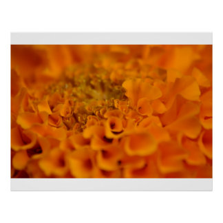 Flor anaranjada de la maravilla posters