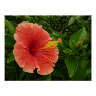 Flor anaranjada del hibisco póster