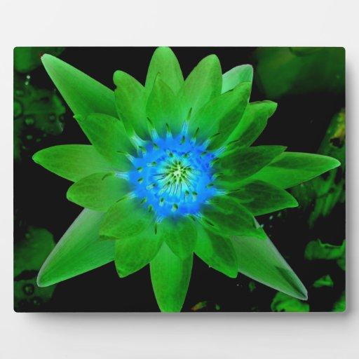 flor aseada verde del lirio de agua contra las hoj placa para mostrar