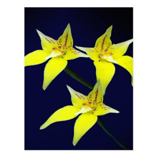 Flor australiana amarilla de la orquídea de postal
