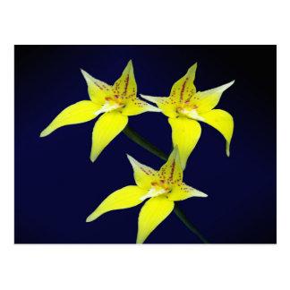 Flor australiana amarilla de la orquídea de tarjeta postal