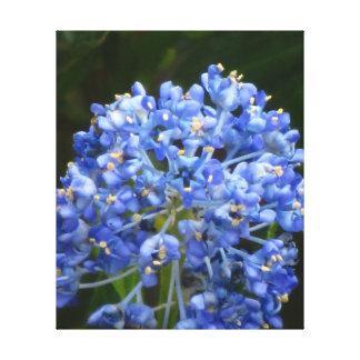 Flor azul de Ceanothus Lona Envuelta Para Galerias