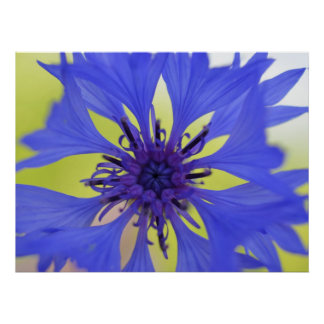 Flor azul de la primavera póster