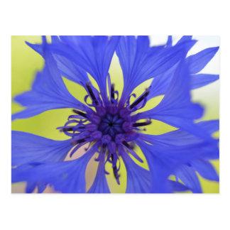 Flor azul de la primavera tarjetas postales