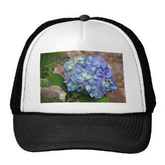Flor azul del Hydrangea en la floración Gorros