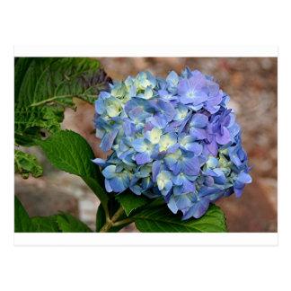 Flor azul del Hydrangea en la floración Tarjeta Postal