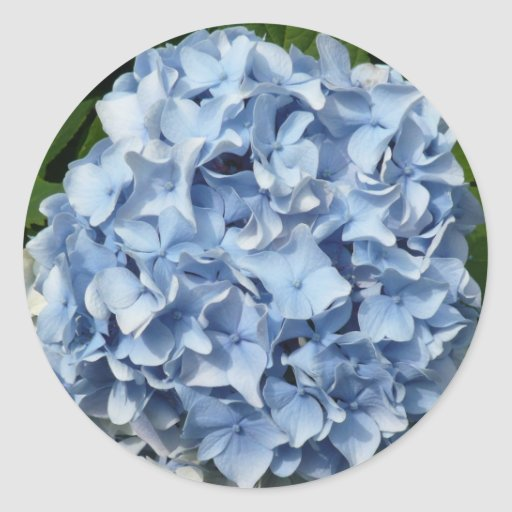 Flor azul del Hydrangea Pegatina Redonda