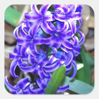 Flor azul del jacinto pegatina cuadradas personalizada