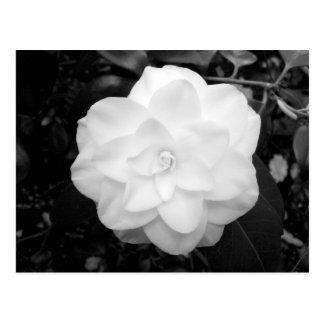 Flor blanca. (Blanco y negro) Postal