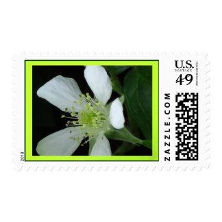 Flor blanca de Blackberry Envio