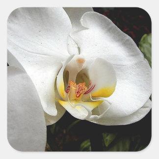 Flor blanca de la orquídea pegatina cuadrada