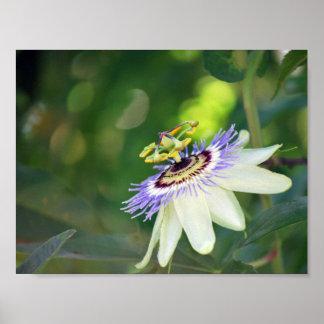Flor blanca de la pasión póster