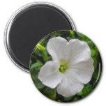 flor blanca de la petunia iman de frigorífico