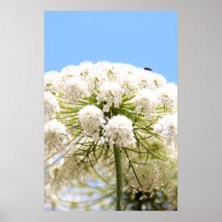 Flor blanca del cordón de la reina Anne contra el  Posters