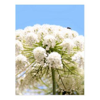 Flor blanca del cordón de la reina Anne contra el Postales