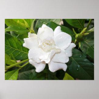 Flor blanca del gardenia póster