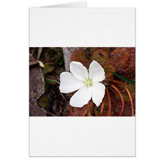 Flor blanca del sundew en la floración tarjeta de felicitación