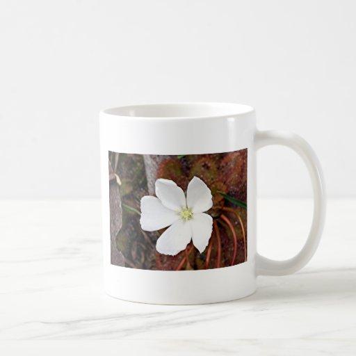 Flor blanca del sundew en la floración tazas de café