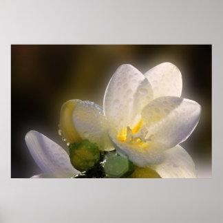 Flor blanca hermosa del misterio, en un poster