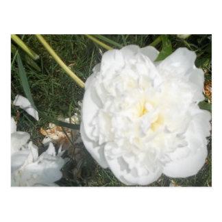 Flor blanca postal