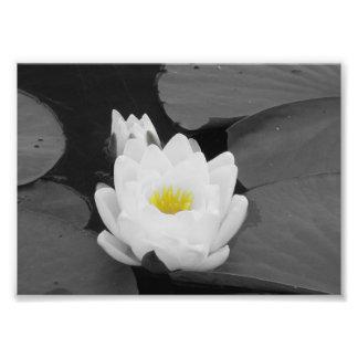 Flor blanca y amarilla del cojín de lirio impresion fotografica