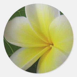 Flor blanca y amarilla del Frangipani Pegatina Redonda