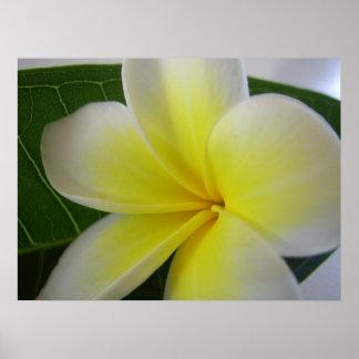 Flor blanca y amarilla del Frangipani Póster