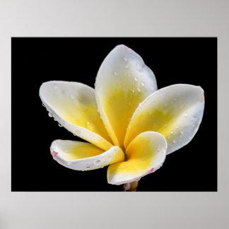 Flor blanco-amarilla hermosa del Plumeria Posters