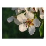 Flor blanco de la pera de la tarjeta de la invitac