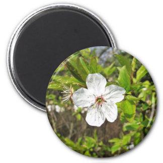 Flor blanco de la primavera imán