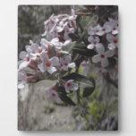 Flor blanco del árbol con una indirecta del rosa placa