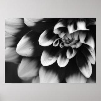 Flor blanco y negro de la dalia impresiones