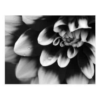 Flor blanco y negro de la dalia tarjeta postal