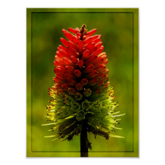 Flor candente impresiones