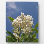 Flor color crema placa para mostrar