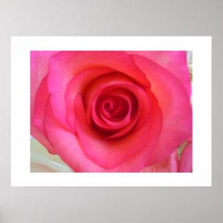 Flor color de rosa rosada poster