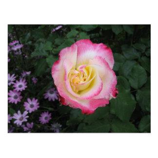 Flor color de rosa rosada postal