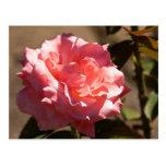 Flor color de rosa rosado tarjeta postal