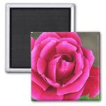 Flor color de rosa rosado vibrante Makro de Fuschi Iman De Frigorífico