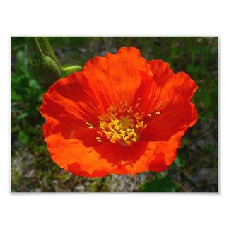 Flor colorida de la amapola roja de Alaska Fotografía