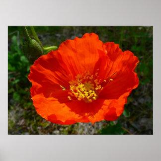 Flor colorida de la amapola roja de Alaska Póster