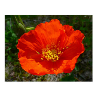 Flor colorida de la amapola roja de Alaska Postal